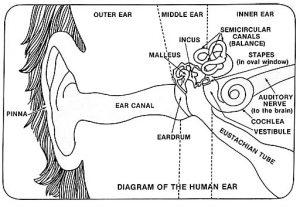 Ear Diagram for Hearing Loss